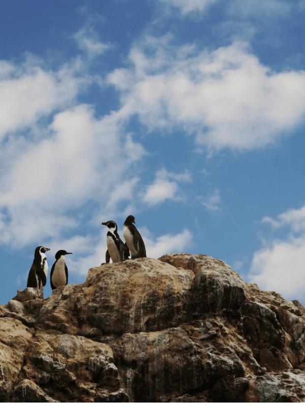 penguins at the islas ballestas in peru