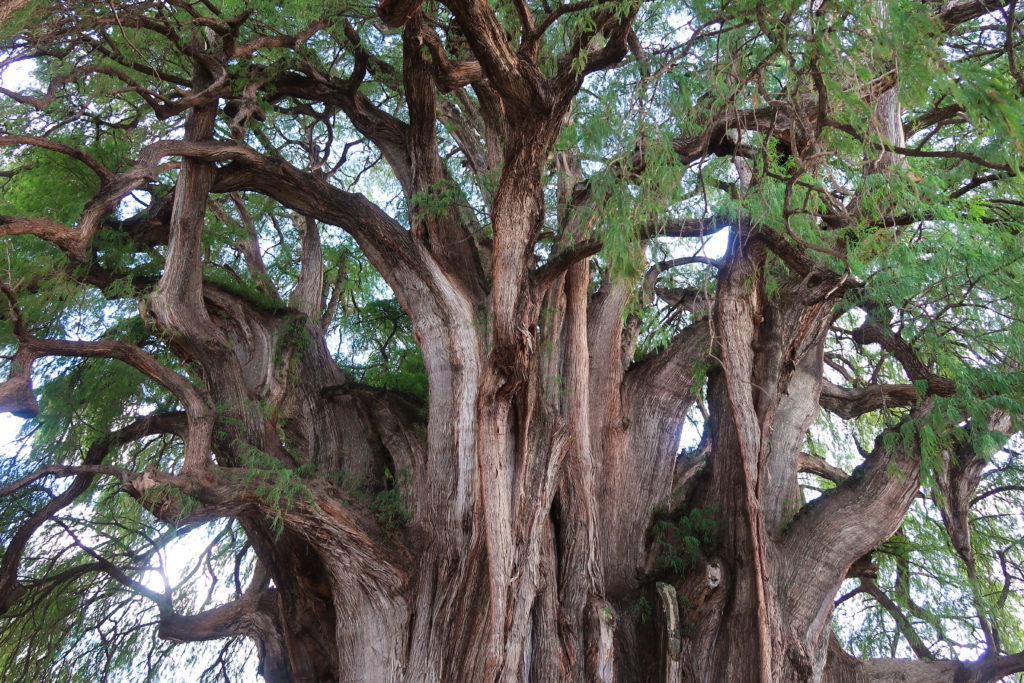This tree is huge and is more than 2,000 years old. It is in a town nearby Oaxaca, called El Tule.
