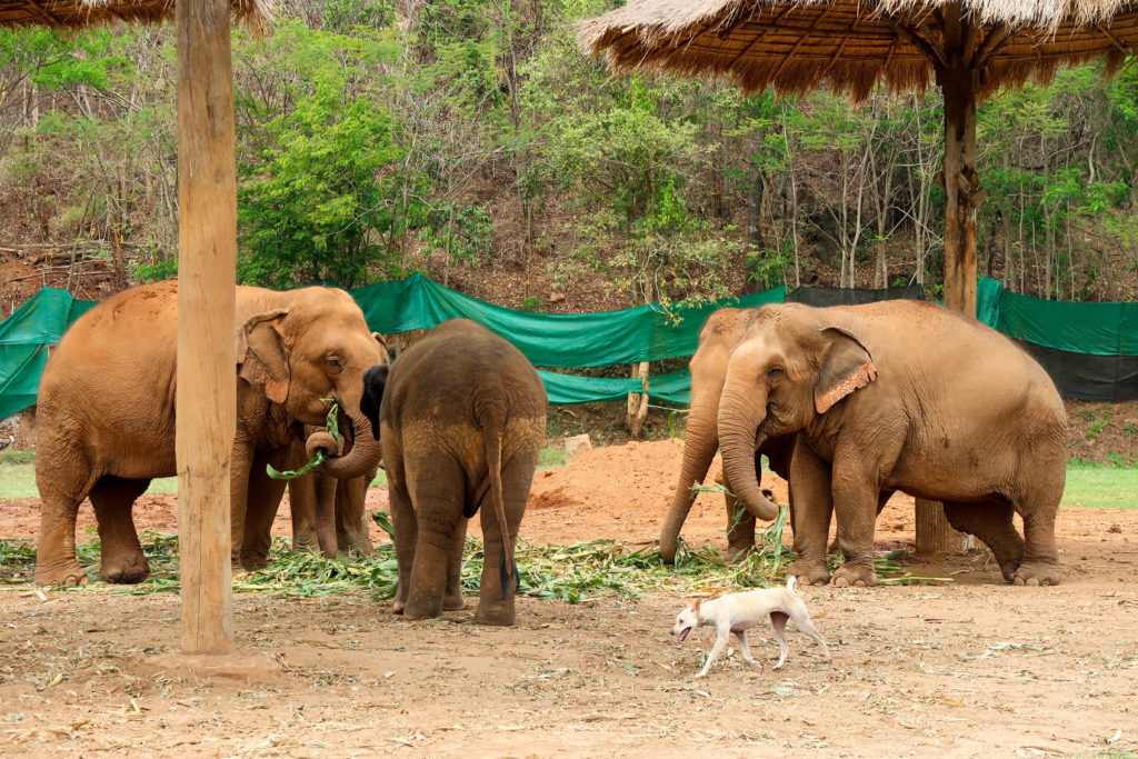 Are you thinking about volunteering for one week at the Elephant Nature Park in Chiang Mai, Thailand? This post explains what the experience is like and includes lots of photos!