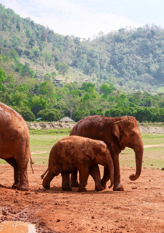 Volunteering at the Elephant Nature Park in Chiang Mai, Thailand for One Week