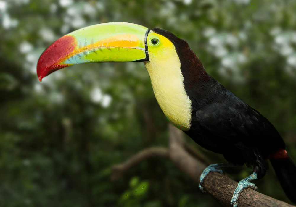 From jaguars, pumas, and ocelots to toucans, howler monkeys, and vipers, the rainforests of Belize teem with exotic and rare wildlife. That's one of the many reasons you should visit Belize.