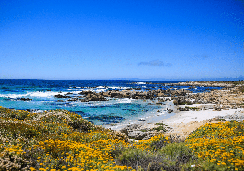 rugged coast and flowers on the 17 mile drive in california