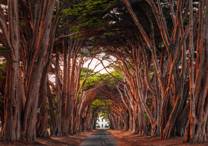 cypress tree tunnel at sunset