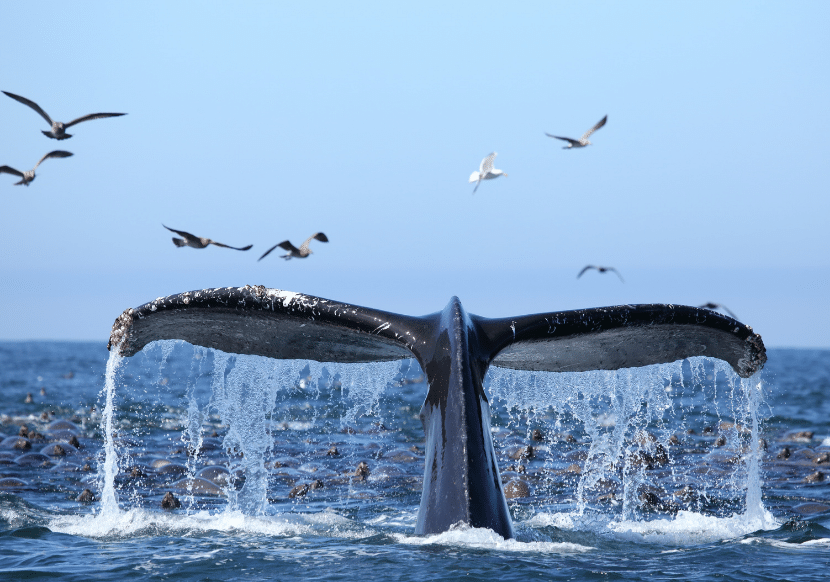 whale tail breaching in Monterey Bay california, a must on your california bucket list