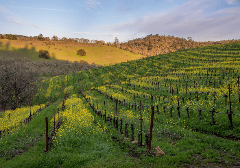 rolling hills covered with grape vines in napa, california