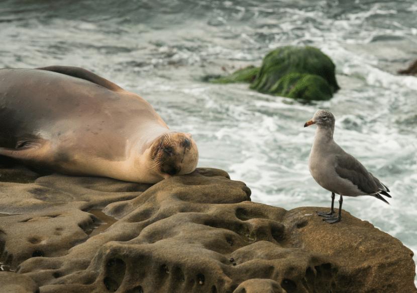 sleeping sea lion and bird at La Jolla Cove