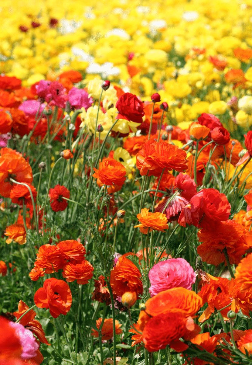fields of bright colored flowers in carlsbad california