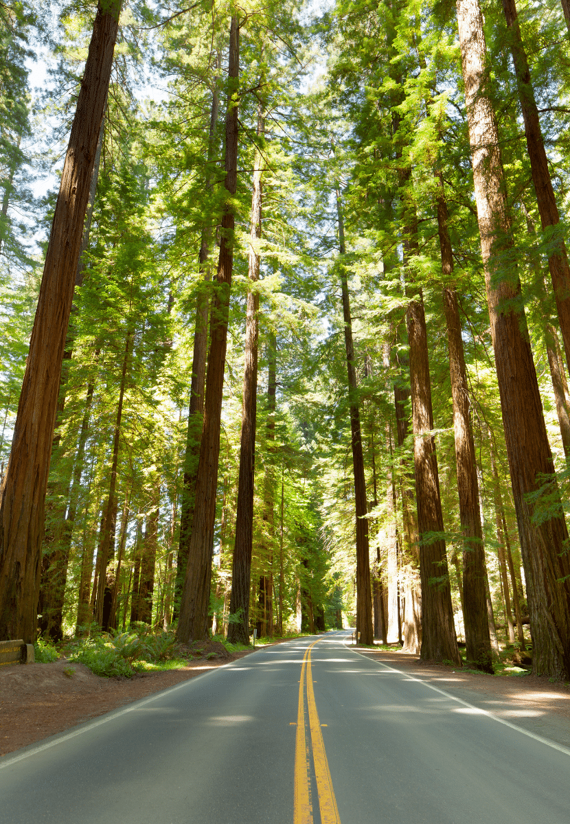 tall redwood trees along a road in California. A must see national park and a must on your California bucket list!